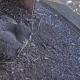 Reeds drie eieren voor koppel slechtvalken in Agfa-schouw